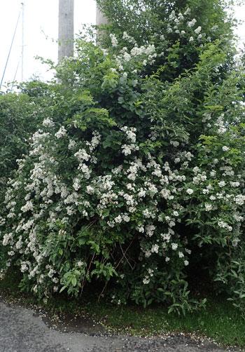 Multiflora rose habit